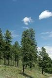 Árvores de pinho Fotografia de Stock Royalty Free
