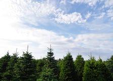 Árvores de pinho Fotos de Stock