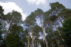 Árvores de pinho Fotos de Stock Royalty Free