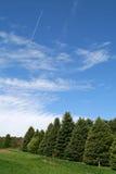 Árvores de pinho Imagem de Stock