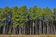 Árvores de pinho altas na borda de uma grande plantação Fotos de Stock Royalty Free