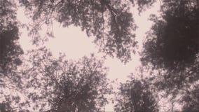 Árvores de pinho altas na floresta video estoque