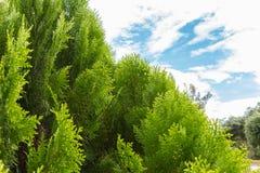 Árvores de pinho com céu azul Fotos de Stock Royalty Free