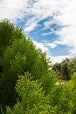 Árvores de pinho com céu azul Imagem de Stock