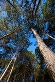 Árvores de pinho de abaixo Fotos de Stock Royalty Free