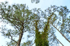 Árvores de pinho de abaixo Fotos de Stock