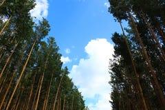 Árvores de pinho de encontro ao céu azul Foto de Stock Royalty Free