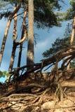 Árvores de pinho de encontro ao céu azul Fotos de Stock Royalty Free