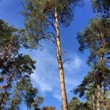 Árvores de pinho e céu azul fotos de stock
