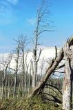 Árvores de pinho inoperantes Fotografia de Stock Royalty Free