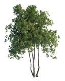 Árvores de pinho isoladas no branco Fotos de Stock Royalty Free