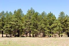 Árvores de pinho na floresta Fotografia de Stock