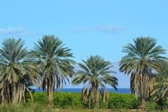 Árvores de pinho na praia Imagens de Stock Royalty Free