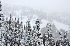 Árvores de pinho nas nevadas fortes Imagem de Stock