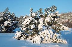 Árvores de pinho nevado e céu azul Fotos de Stock Royalty Free