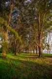 Árvores de pinho pela praia Imagens de Stock
