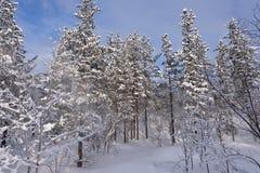 Árvores de pinhos na neve fotografia de stock