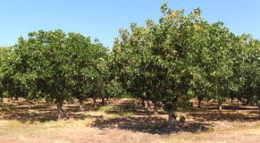 Árvores de pistache Imagem de Stock
