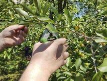 Árvores de poda, ferramenta de poda de inquietação do punho da tesoura do trabalho sazonal para o jardim Fotografia de Stock