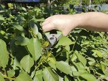 árvores de poda, importando-se com os secateurs exteriores de poda da estação do serviço do punho do jardim Imagem de Stock