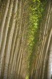 Árvores de poplar cultivadas. fotografia de stock royalty free