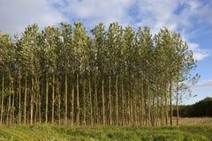 Árvores de poplar novas no verão Imagens de Stock