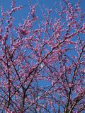 Árvores de Redbud Fotos de Stock Royalty Free
