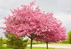 Árvores de Redbud foto de stock royalty free