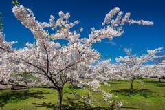 Árvores de Sakura contra o céu azul e a grama Fotografia de Stock