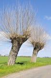 Árvores de salgueiro Fotografia de Stock Royalty Free