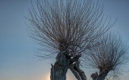 Árvores de salgueiro com muitos ramos finos contra o céu azul fotos de stock