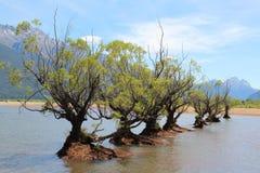 Árvores de salgueiro em seguido na água de um lago Foto de Stock Royalty Free