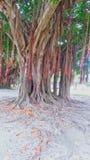 Árvores de salgueiro embaladas Imagens de Stock