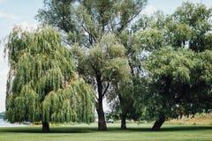Árvores de salgueiro no parque imagens de stock