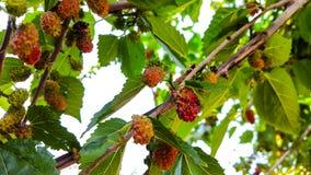 Árvores de Shatoot e folhas do verde Imagem de Stock