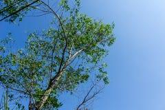 Árvores de Sonneratia Imagem de Stock Royalty Free