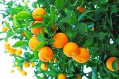 árvores de tangerina Foto de Stock
