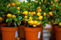 Árvores de tangerina interiores decorativas com frutos neles Fotografia de Stock Royalty Free