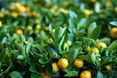 Árvores de tangerina fotografia de stock