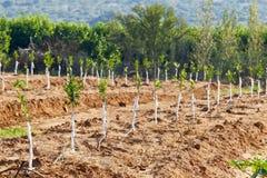 Árvores de tangerina novas Fotografia de Stock Royalty Free