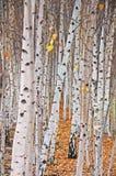 Árvores de vidoeiro Imagem de Stock Royalty Free