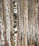 Árvores de vidoeiro foto de stock