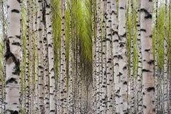 Árvores de vidoeiro imagens de stock royalty free