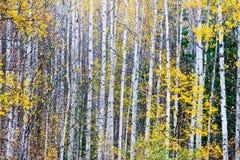 Árvores de vidoeiro Imagem de Stock