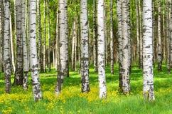 Árvores de vidoeiro Fotografia de Stock