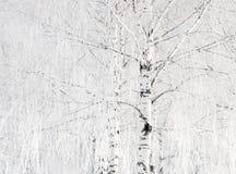 Árvores de vidoeiro Fotografia de Stock Royalty Free