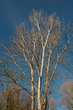 Árvores de vidoeiro Fotos de Stock