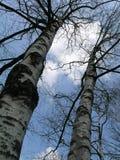 Árvores de vidoeiro Fotos de Stock Royalty Free