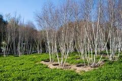 Árvores de vidoeiro branco americanas - papyrifera da bétula Foto de Stock