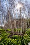 Árvores de vidoeiro branco americanas - papyrifera da bétula Imagens de Stock Royalty Free